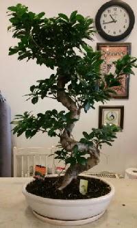 100 cm yüksekliğinde dev bonsai japon ağacı  Çankırı 14 şubat sevgililer günü çiçek