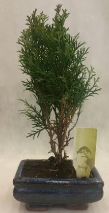 SINIRLI SAYIDA ÜRÜN Selvi Bonsai  Çankırı 14 şubat sevgililer günü çiçek