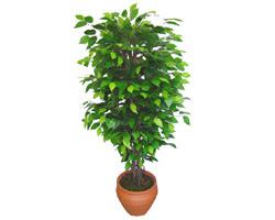 Ficus Benjamin 1,50 cm   Çankırı çiçekçi mağazası