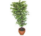 Ficus özel Starlight 1,75 cm   Çankırı çiçek satışı