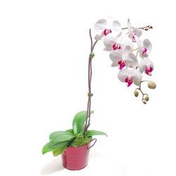 Çankırı çiçek online çiçek siparişi  Saksida orkide