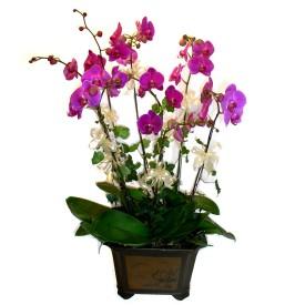 Çankırı çiçek satışı  4 adet orkide çiçegi