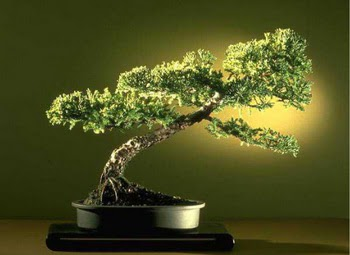 ithal bonsai saksi çiçegi  Çankırı online çiçekçi , çiçek siparişi