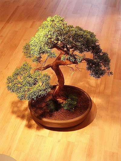 ithal bonsai saksi çiçegi  Çankırı internetten çiçek siparişi