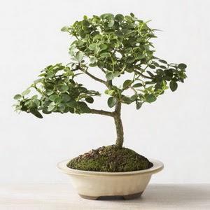 ithal bonsai saksi çiçegi  Çankırı internetten çiçek satışı
