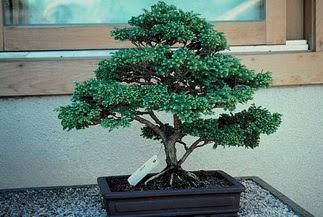 ithal bonsai saksi çiçegi  Çankırı hediye çiçek yolla