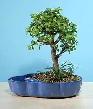 ithal bonsai saksi çiçegi  Çankırı çiçek gönderme sitemiz güvenlidir