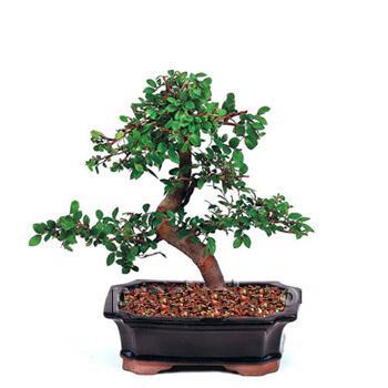 ithal bonsai saksi çiçegi  Çankırı çiçek gönderme