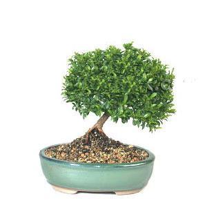 ithal bonsai saksi çiçegi  Çankırı çiçek , çiçekçi , çiçekçilik