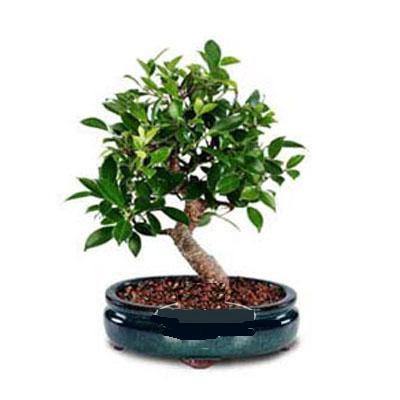 ithal bonsai saksi çiçegi  Çankırı çiçek yolla , çiçek gönder , çiçekçi