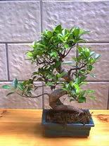 ithal bonsai saksi çiçegi  Çankırı çiçek siparişi sitesi