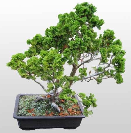 ithal bonsai saksi çiçegi  Çankırı 14 şubat sevgililer günü çiçek