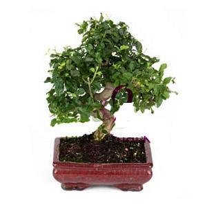 ithal bonsai saksi çiçegi  Çankırı çiçekçi mağazası