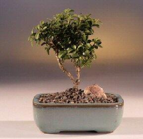 Çankırı hediye sevgilime hediye çiçek  ithal bonsai saksi çiçegi  Çankırı İnternetten çiçek siparişi
