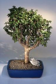 Çankırı çiçek online çiçek siparişi  ithal bonsai saksi çiçegi  Çankırı çiçek gönderme sitemiz güvenlidir