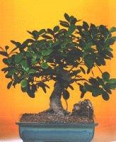 Çankırı çiçek servisi , çiçekçi adresleri  ithal bonsai saksi çiçegi  Çankırı çiçek yolla