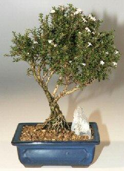 Çankırı kaliteli taze ve ucuz çiçekler  ithal bonsai saksi çiçegi  Çankırı çiçekçi telefonları