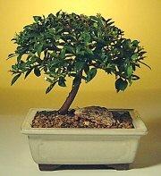 Çankırı güvenli kaliteli hızlı çiçek  ithal bonsai saksi çiçegi  Çankırı çiçek satışı