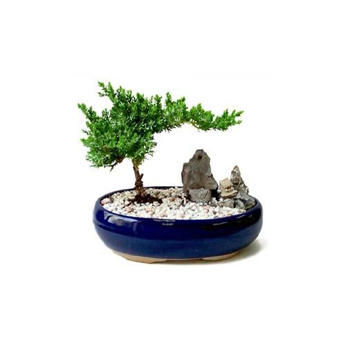 ithal bonsai saksi çiçegi  Çankırı çiçek online çiçek siparişi