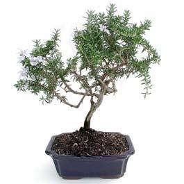 ithal bonsai saksi çiçegi  Çankırı çiçek servisi , çiçekçi adresleri