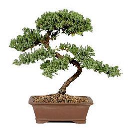 ithal bonsai saksi çiçegi  Çankırı anneler günü çiçek yolla