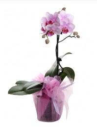 1 dal pembe orkide saksı çiçeği  Çankırı çiçek siparişi vermek
