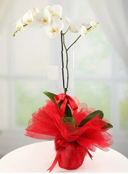 1 dal beyaz orkide saksı çiçeği  Çankırı cicek , cicekci