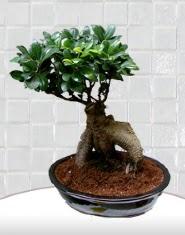 saksı çiçeği japon ağacı bonsai  Çankırı çiçek siparişi vermek