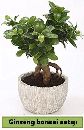 Ginseng bonsai japon ağacı satışı  Çankırı çiçek servisi , çiçekçi adresleri