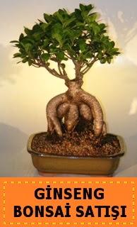 Ginseng bonsai satışı japon ağacı  Çankırı çiçek satışı