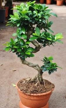 Orta boy bonsai saksı bitkisi  Çankırı çiçek yolla