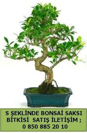 İthal S şeklinde dal eğriliği bonsai satışı  Çankırı çiçek online çiçek siparişi