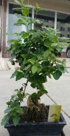 Bonsai japon ağacı saksı bitkisi  Çankırı çiçek gönderme