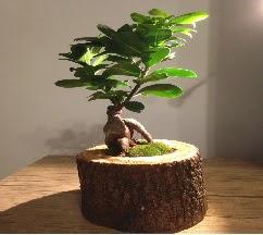 Doğal kütükte Bonsai japon ağacı satışı  Çankırı İnternetten çiçek siparişi
