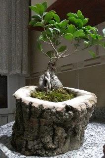 Ahşap kütük içerisinde ginseng bonsai  Çankırı çiçek yolla