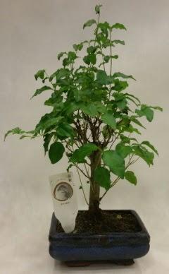 Minyatür bonsai japon ağacı satışı  Çankırı çiçek servisi , çiçekçi adresleri