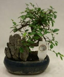 İthal 1.ci kalite bonsai japon ağacı  Çankırı çiçek mağazası , çiçekçi adresleri