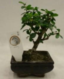 Küçük minyatür bonsai japon ağacı  Çankırı çiçek online çiçek siparişi