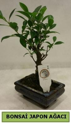 Bonsai japon ağacı saksı bitkisi  Çankırı çiçekçiler