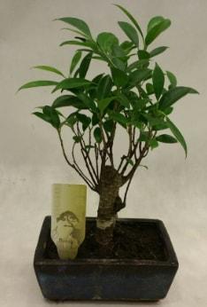 Japon ağacı bonsai bitkisi satışı  Çankırı çiçek servisi , çiçekçi adresleri