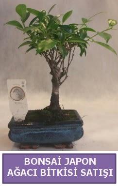 İthal Bonsai japon ağacı bitkisi satışı  Çankırı 14 şubat sevgililer günü çiçek