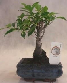 Bonsai ağacı japon ağaç bitkisi  Çankırı hediye sevgilime hediye çiçek