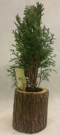 SINIRLI STOK Selvi Bonsai Doğal kütükte  Çankırı 14 şubat sevgililer günü çiçek