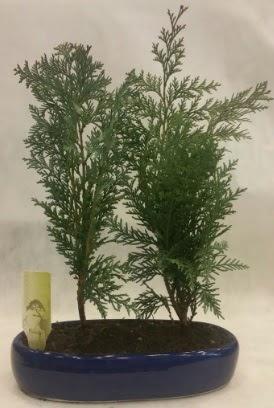 SINIRLI SAYIDA Selvi Ağacı bonsai ikili  Çankırı çiçek servisi , çiçekçi adresleri