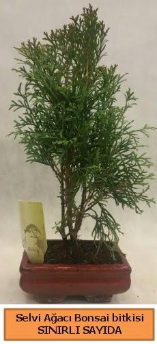 Selvi ağacı bonsai japon ağacı bitkisi  Çankırı çiçek mağazası , çiçekçi adresleri