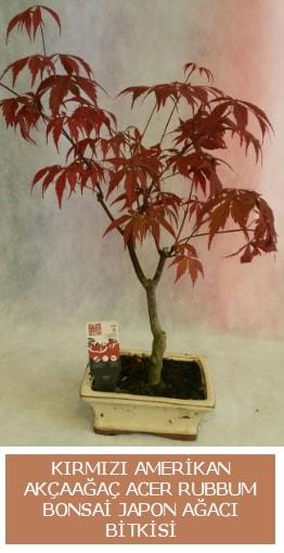 Amerikan akçaağaç Acer Rubrum bonsai  Çankırı ucuz çiçek gönder