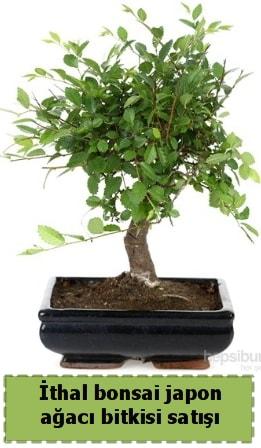İthal bonsai saksı çiçeği Japon ağacı satışı  Çankırı 14 şubat sevgililer günü çiçek