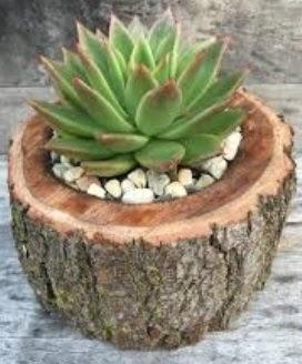 Doğal kütük saksı içinde sukelent kaktüs  Çankırı 14 şubat sevgililer günü çiçek