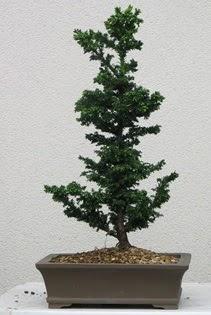 Çam ağacı bonsai bitkisi satışı  Çankırı çiçek servisi , çiçekçi adresleri