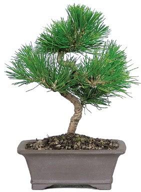 Çam ağacı bonsai japon ağacı bitkisi  Çankırı çiçek online çiçek siparişi